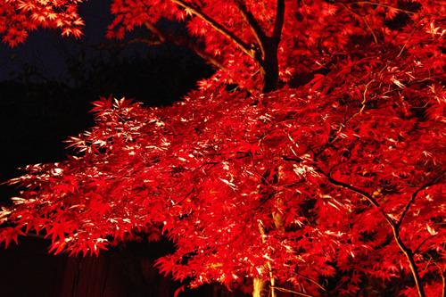 百草園ライトアップ2010-10