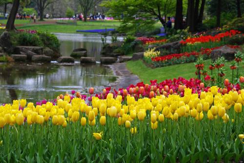 昭和記念公園チューリップ201004-5
