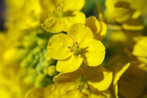 菜の花2010-3