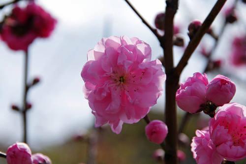 散歩道の桃色201004-4