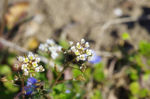 春の花201103-11