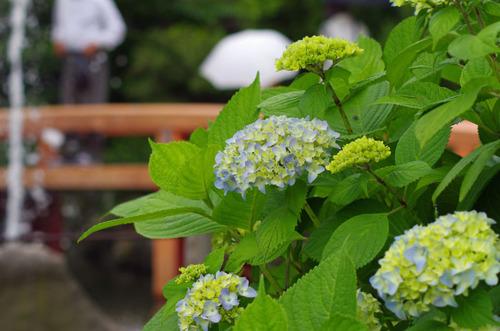 高幡不動あじさい201106-14