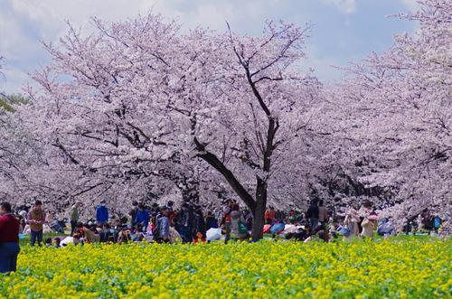 昭和記念公園201404-8