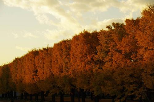 昭和記念公園イチョウ並木201211-10