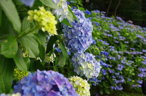 高幡不動あじさい祭り201106-10