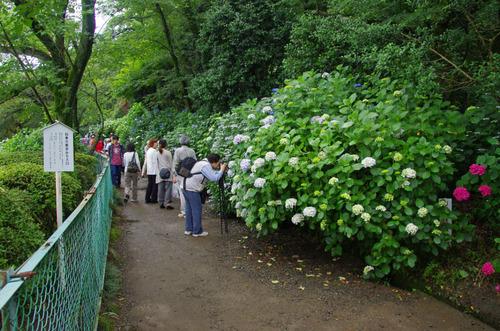 高幡不動尊あじさい祭り201106-13