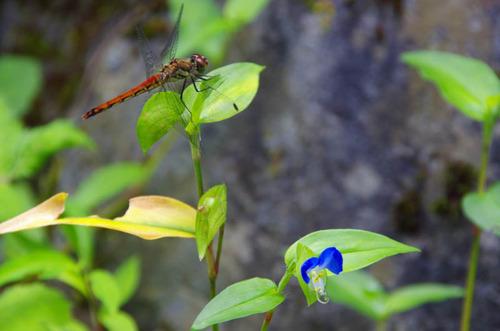 御岳山201208-つゆくさ