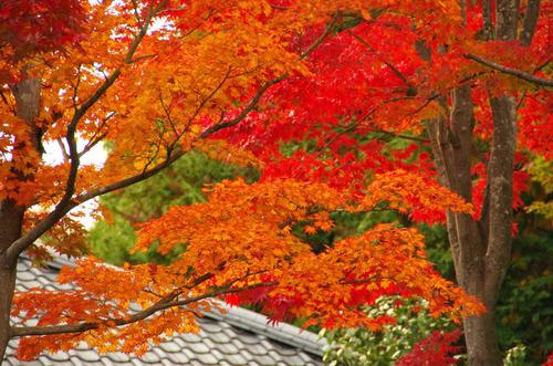 昭和記念公園紅葉201211-3