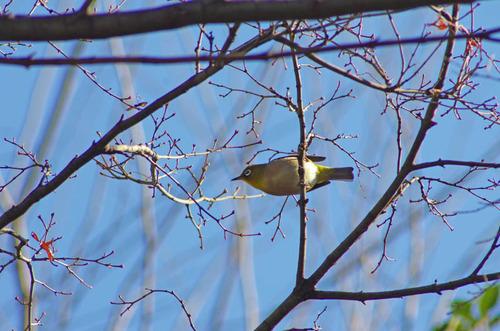 散歩道の野鳥201301-10