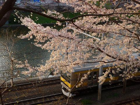 千鳥ヶ淵夜桜-1