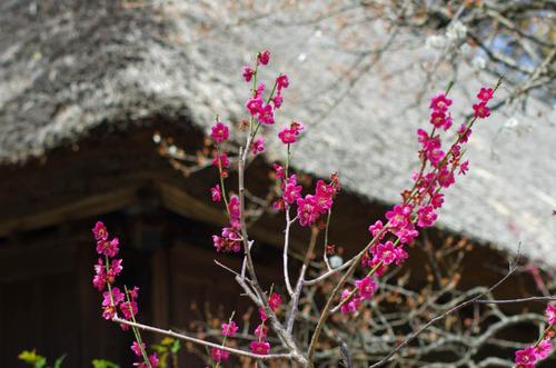 京王百草園201303-4