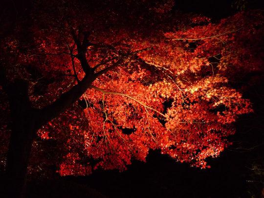 百草園紅葉ライトアップ-7