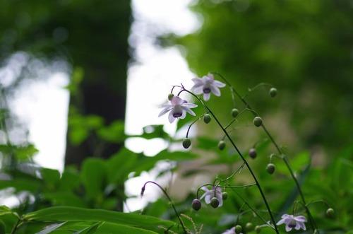 御岳山レンゲショウマ201208-8