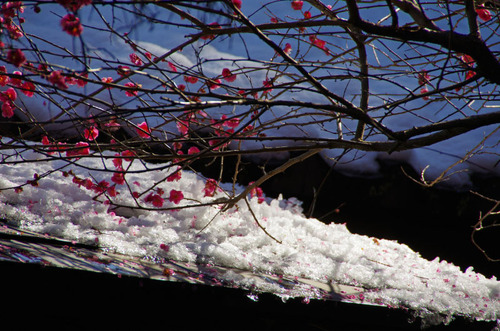 百草園梅まつり201102-10