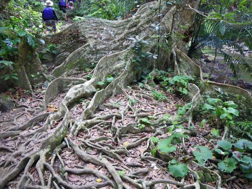 西表島ピナイサーラの滝2010-6
