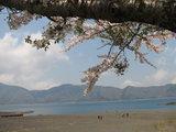 本栖湖湖畔と桜