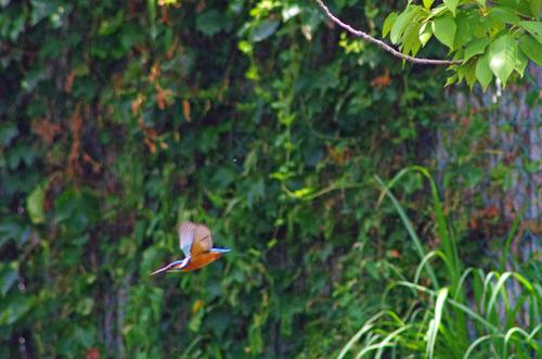 散歩道の鳥たち2013-5