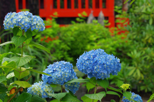 高幡不動尊あじさい祭り201106-7