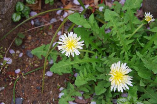 4月の花201104-2