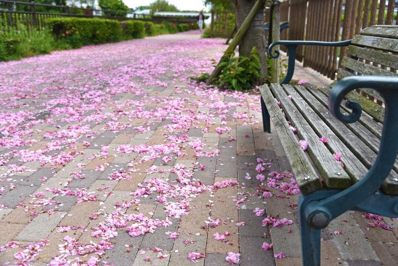 散歩道の八重桜
