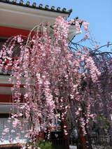 高幡不動の垂れ桜-1