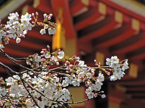高幡不動尊の桜090329-4