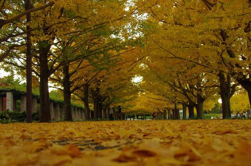 昭和記念公園イチョウ並木201211-9
