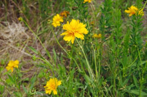 河川敷の花201106-1