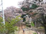 高尾山0420山桜と登山道