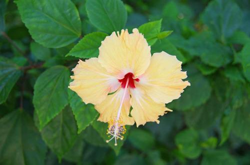 由布島の花201108-10