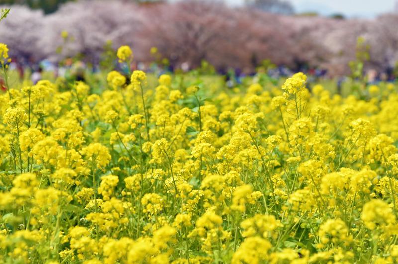 昭和記念公園201504-1