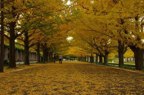 昭和記念公園イチョウ並木201211-8