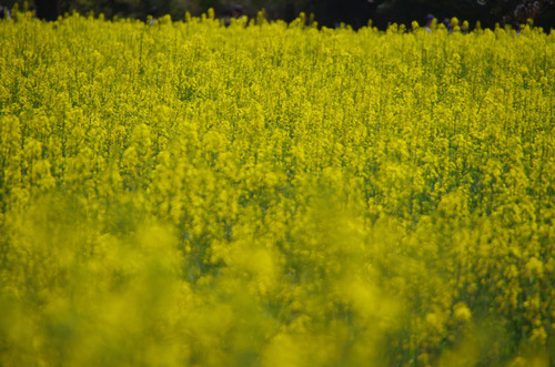 昭和記念公園菜の花と桜201104-5