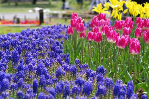 昭和記念公園チューリップ201004-10