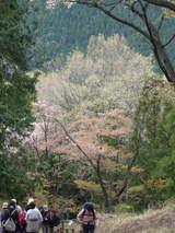 高尾山0420山桜と新緑