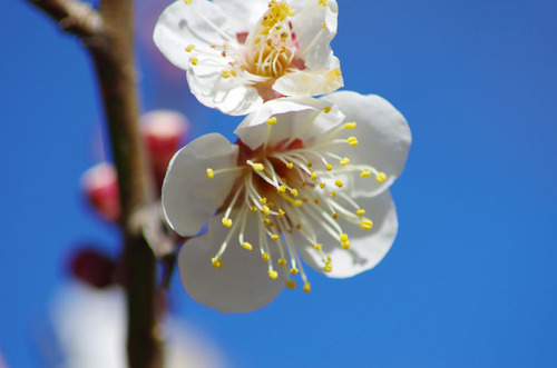 百草園梅まつり201102-2