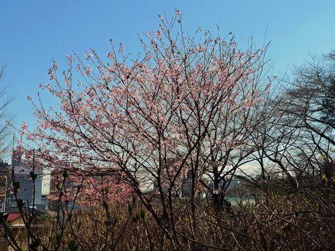 高幡不動尊早咲桜-1