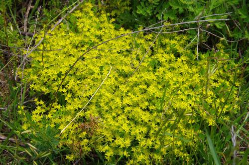 河川敷の花201106-2