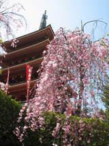 高幡不動の垂れ桜-4