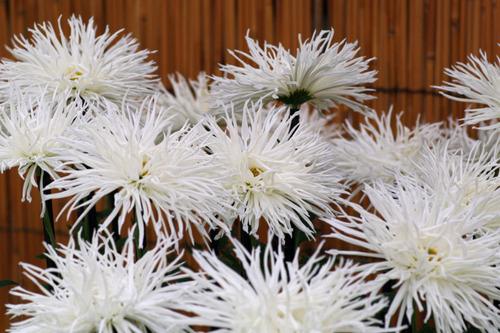 菊まつり2010-4