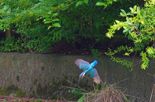 散歩道の鳥たち2013-6