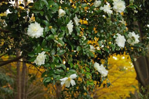 昭和記念公園紅葉201211-11