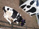 ジェラート屋さんの牛2