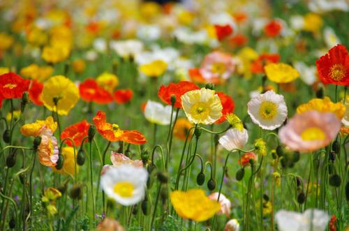 昭和記念公園20120428-11
