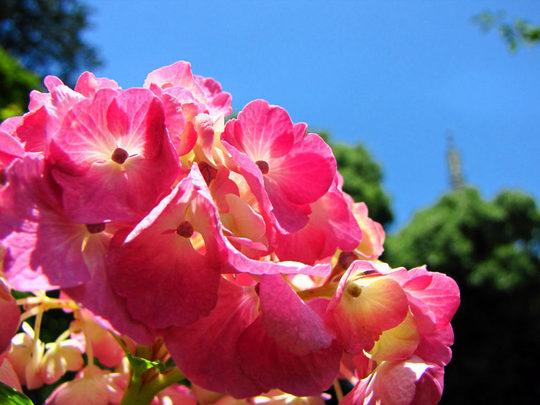 輝く西洋紫陽花2009-3