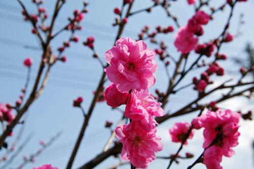 散歩道の桃色201004-3