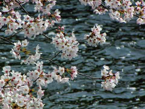多摩川花見2009-1