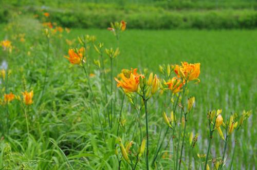 散歩道の花201107-1