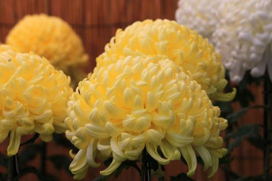 高幡不動尊菊祭り200910-8