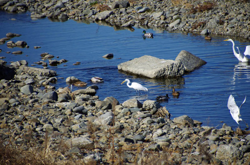 散歩道の野鳥201301-12